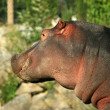 Hippo , Canada - Stock Photo