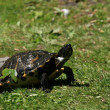 Terrapin - Beacon Hill Park, Victoria, BC, Canada — Photo