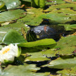 Terrapin - Beacon Hill Park, Victoria, BC, Canada - Stock Photo