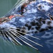 Seal at Fishermans Wharf, Victoria, BC, Canada — Stock Photo