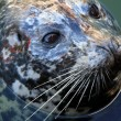 Stock Photo: Seal at Fishermans Wharf, Victoria, BC, Canada