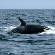 Orca Whale Watching, Victoria, BC, Canada — Stock Photo