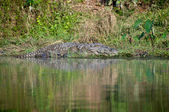 Mugga Crocodille at Chitwan NP , Nepal — Stock Photo