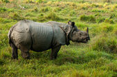 Indian Rhinoceros - Chitwan NP , Nepal — Stock Photo