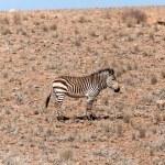 Mountain Zebra at Sossusvlei, Namibia — Stock Photo #45816523