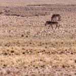 Mountain Zebra at Sossusvlei, Namibia — Stock Photo #45816543