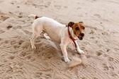 Dog in Katima Mulio - Namibia — Stock Photo