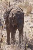 Olifant - etosha safari park in Namibië — Stockfoto