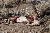 Jackal Eating Springbok - Etosha Safari Park in Namibia — Stock Photo