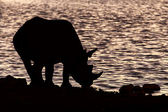 Black Rhino - Etosha Safari Park in Namibia — Stock Photo