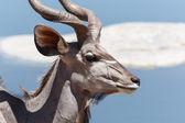 Kudu - etkin safari park Namibya — Stok fotoğraf