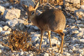 Dik Dik - Etosha Safari Park in Namibia — Stock Photo
