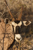 Oryx - Etosha Safari Park in Namibia — Stock Photo