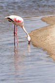 Flamingo - Namibia — Stock Photo