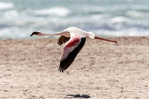 Flamingo Flying - Namibia — Stock Photo