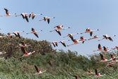 Flamingo Flying - Namibia — Stock Photo