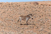 Mountain Zebra at Sossusvlei, Namibia — Stock Photo
