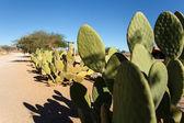 Cactus in Solitaire — Stock Photo