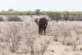 Elephant - Etosha Safari Park in Namibia — Stock Photo