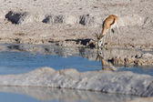 Springbok - Etosha Safari Park in Namibia — Stock Photo