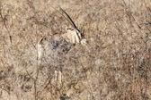 Oryx - Etosha Safari Park — Stock Photo