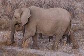 Elephant - Etosha Safari Park in Namibia — Stockfoto