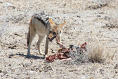 Jackal Eating Springbok - Etosha Safari Park in Namibia — Stock Photo