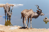 Kudu - Etosha Safari Park in Namibia — Stock Photo