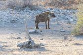 Hyena - Etosha Safari Park in Namibia — Stock Photo