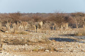 Eland - Etosha Safari Park in Namibia — Stock Photo