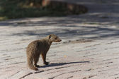 Banded Mongoose - Etosha Safari Park in Namibia — Stock Photo