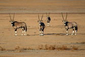 Oryx in Sossusvlei, Namibia — Stock Photo