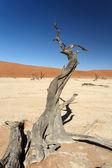 Dead Vlei - Sossusvlei, Namibia — Stock Photo