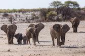Young Elephant - Etosha Safari Park in Namibia — Stock Photo