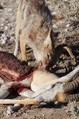 Jackal Eating Springbok — Stock Photo