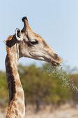Giraffe - Etosha Safari Park in Namibia — Stock Photo