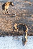 Hyena at Water Hole - Etosha Safari Park in Namibia — Stock Photo
