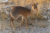 Dik Dik - Etosha Safari Park in Namibia — Stock Photo