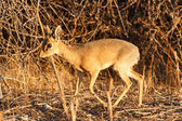 荻荻-在纳米比亚埃托沙野生动物园 — 图库照片