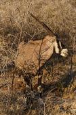 Oryx - Etosha Safari Park in Namibia — Stock Photo