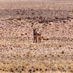 Mountain Zebra at Sossusvlei, Namibia — Stock Photo #46200807