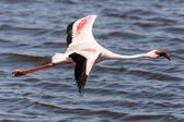 Flamingo Flying - Namibia — Stockfoto