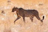 Cheetah Eats in Sossusvlei, Namibia — Stock Photo