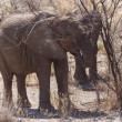 Young Elephant - Etosha Safari Park in Namibia — Stock Photo