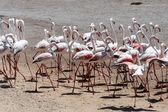Flamingo - Namibia — Zdjęcie stockowe