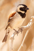 Male Sociable Weaver Bird, Namibia — Stock Photo