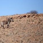 Mountain Zebra at Sossusvlei, Namibia — Stock Photo #46689231