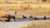 Wild Dog - Okavango Delta - Moremi N.P. — Stock Photo