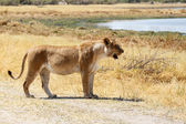 Lion - Okavango Delta - Moremi N.P. — Stock Photo