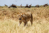 Leão - delta do okavango - moremi n. p. — Foto Stock